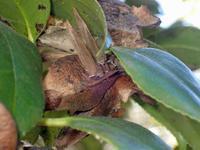 越冬中のムラサキシジミ - 秩父の蝶