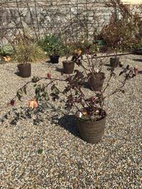 毎月咲いていたオレンジニケの土替え(根が抜群!) - バラやらナンやら