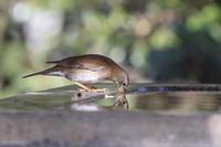 シロハラゴクゴクと水飲み ? - 気まぐれ野鳥写真