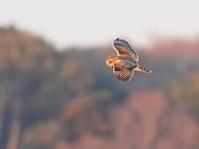 コミミズクSDB - シエロの野鳥観察記録