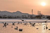 みちのく白鳥たち11 - みちのくの大自然