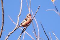 赤い鳥 - 暮らしの中で
