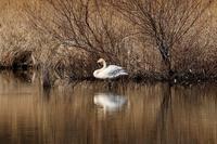 遊水地の白鳥 - 暮らしの中で