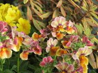 複雑な色合いのネメシアの花 - あるまじろの庭