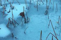 冬の蓮池#1 - 但馬・写真日和