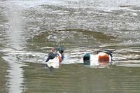再び氷が張った池にカモが... - なんでもブログ2