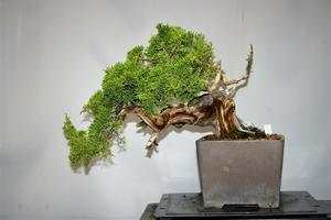 真柏の整枝 - 雨宮園 ~盆栽・山野草・陶芸~ 趣味が仕事でも・・・。