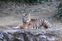 スマトラトラ - 動物園へ行こう