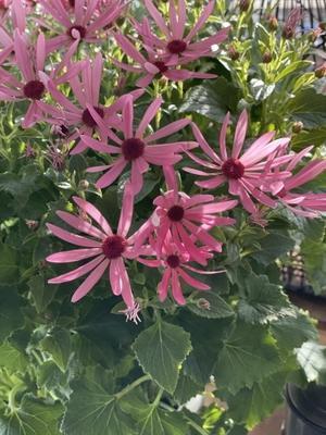優しくて美しいサイネリア - 小さな庭 2