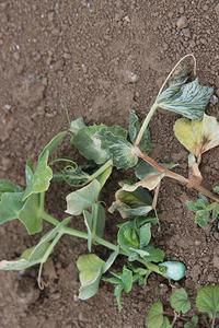 この冬はエンドウ豆まで - ぬるぅい畑生活