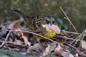 アオジが観察しやすくなりました。★先週末の鳥類園(2020.1.16~17) - 葛西臨海公園・鳥類園Ⅱ