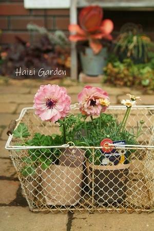 アネモネ・アンアリス~♪&新色のローダンセマム - ハイジの玄関先ガーデン エピソード2♪