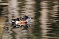 のんびりとハシビロガモ - 野鳥公園
