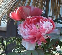 上野東照宮ぼたん苑の冬牡丹 - 花と葉っぱ