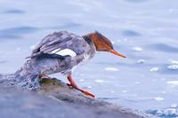 ウミアイサ(海秋沙) - 野鳥などの撮影記録