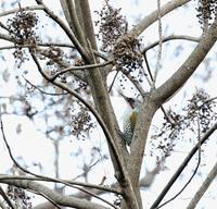 MFで久しぶりにアオゲラに出会った・・・ - 一期一会の野鳥たち