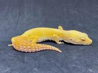 レオパ・レオパ・ベルサングロー ♀ Geckos Etc - アクアマイティー最新入荷情報BLOG