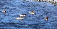 自宅より近くの一級河川でカワアイサに逢って来た - 私の鳥撮り散歩