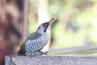 突然、アオゲラが水飲みに - 気まぐれ野鳥写真