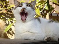 あくび - ネコと裏山日記