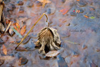 枯れた蓮の葉 ** - ふわふわ日和
