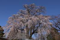 2020年の桜10選 - toshiさんのお気楽ブログ
