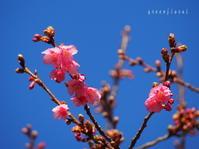 寒緋桜と豆乳スープ - green floral (旧green diary)