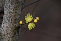 冬のお花見へ・・・ロウバイとマンサク - 鳥と共に日々是好日②