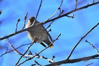 今季初のキレンジャクさん - 鳥と共に日々是好日②