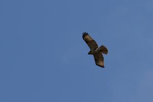 万之瀬川河口周辺の猛禽 - ふるさと加世田から