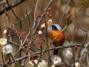 今日の撮って出し!梅の花とジョウビタキ  KDS - シエロの野鳥観察記録