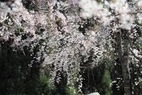 無名の桜 - Taro's Photo