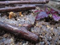 野ブドウ-2 - めざすはBONSAI いまは鉢植え!