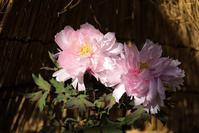 冬牡丹Ⅱ - 休日PHOTOブログ