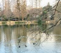 朝散歩 野鳥観察 キンクロハジロ - 風の彩