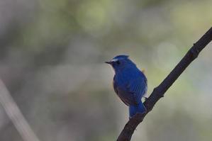 優しい風が吹いた......ルリビタキ - 新  鳥さんと遊ぼうⅡ