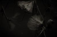 冬の蓮 - Photism