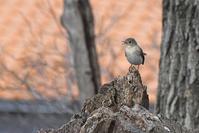 雑木林の鳥さん♪<西尾白鶲> - 風のむろさん 自然の詩