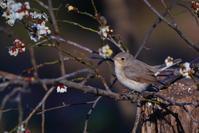 至近距離のニシオジロビタキ(西尾白鶲) - 野鳥などの撮影記録