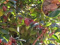 越冬中ムラサキシジミ - 秩父の蝶