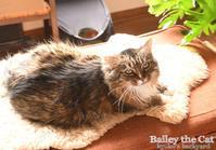 あくびで返事をする猫 - Kyoko's Backyard ~アメリカで田舎暮らし~