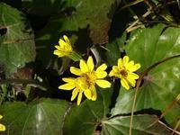 今日の黄色い花 - ほのぼのはうす