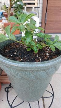 苗の植え替え - Ree's Blog