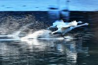 みちのく白鳥たち14 - みちのくの大自然
