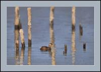 カイツブリ - 光 塗人 の デジタル フォト グラフィック アート (DIGITAL PHOTOGRAPHIC ARTWORKS)