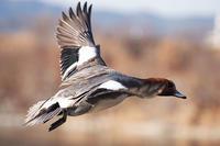 しなる羽の美しさに魅了される - スポック艦長のPhoto Diary