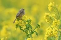 菜の花お花見♪ <雪加> - 風のむろさん 自然の詩