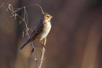 西陽が当たるオオジュリン(大寿林) - 野鳥などの撮影記録