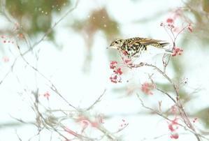 トラツグミ - 北の野鳥たち
