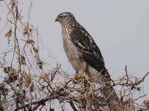 今日の撮って出し! ライファーNo.368チョウセンオオタカ  TMO - シエロの野鳥観察記録